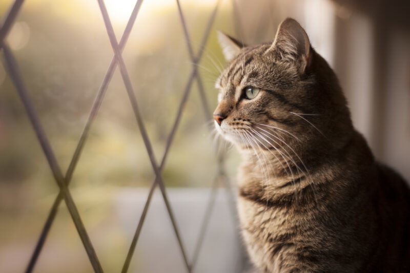 Handsome Tabby Cat Sat By A Window